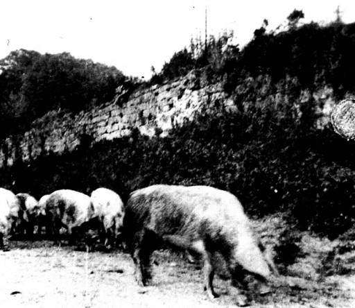 , te_0540, Schweineaustrieb , ohne Datum